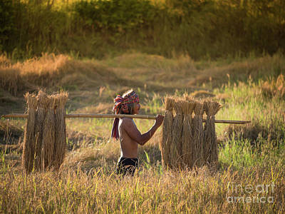 Poster featuring the photograph Thai Farmer Carrying The Rice On Shoulder After Harvest. by Tosporn Preede