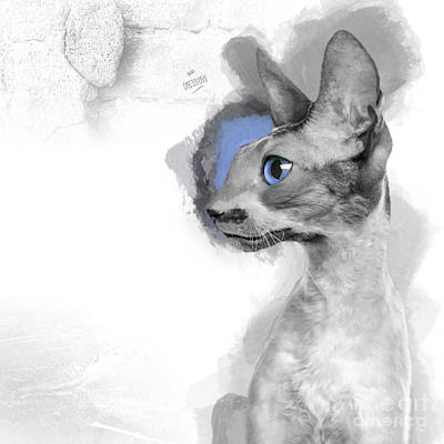 That Gorgeous Gray Blue-eyed Cornish Rex In Profile Poster