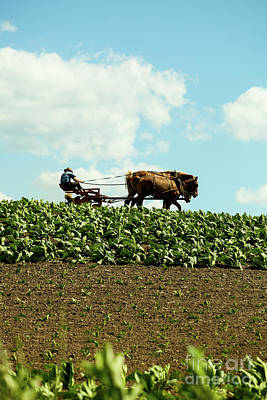 The Amish Farmer With Horses In Tobacco Field Poster