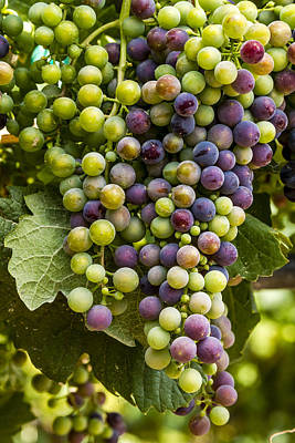 The Art Of Wine Grapes Poster by Teri Virbickis