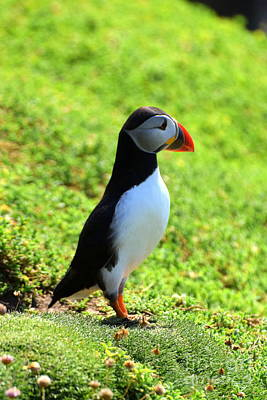 The Atlantic Puffin Poster