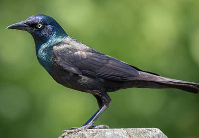 Poster featuring the photograph The Beautiful Common Grackle by Ricky L Jones