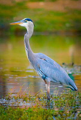 The Beauty Of A Great Blue Heron Poster by Parker Cunningham