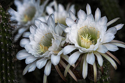 The Beauty Of Cactus Flowers  Poster