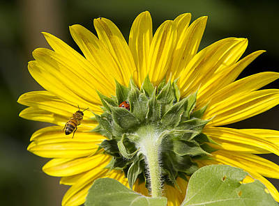 The Bee Lady Bug And Sunflower Poster