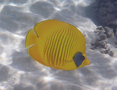 The Bluecheeked Butterflyfish Red Sea Poster