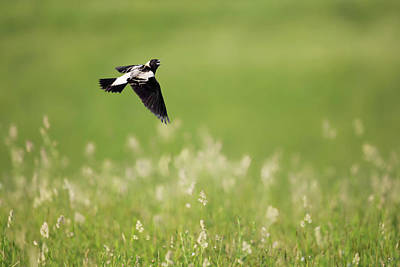 The Bobolink In Flight Poster