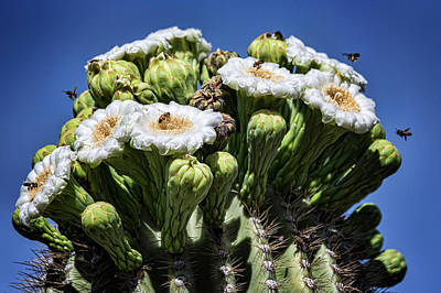 Poster featuring the photograph The Busy Little Bees On The Saguaro Blossoms  by Saija Lehtonen