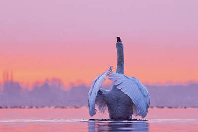 The Conductor - Mute Swan At Sunset Poster by Roeselien Raimond