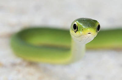 The Cute Green Snake Poster by JC Findley