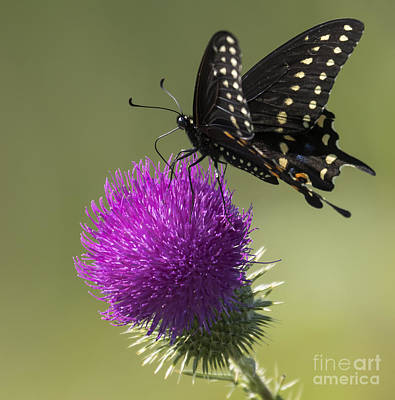 The Eastern Black Swallowtail  Poster by Ricky L Jones