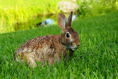 The Eastern Cottontail Rabbit Poster