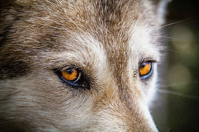 Poster featuring the photograph The Eyes Of A Great Grey Wolf by Teri Virbickis