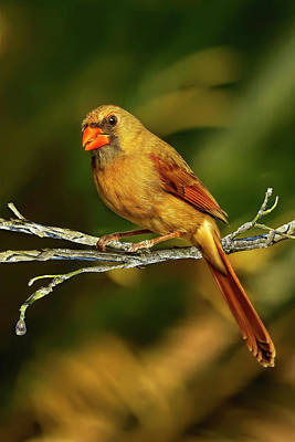 The Female Cardinal Poster
