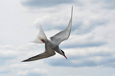 The Fishing Common Tern. Poster by Asbed Iskedjian