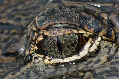 The Gators Eye Poster by Gary Perez