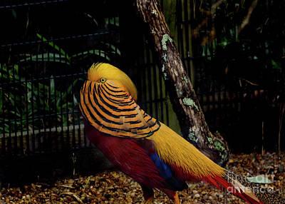 The Golden Pheasant Or Chinese Pheasant -atlanta Ga, Zoo Poster