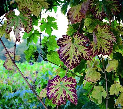 Poster featuring the photograph The Grape Vine by Corinne Rhode