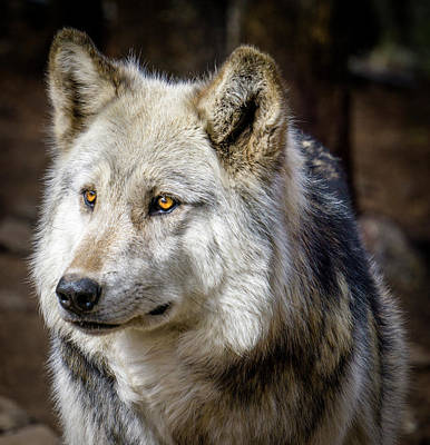 Poster featuring the photograph The Gray Wolf by Teri Virbickis