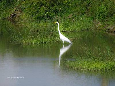 Great Egret By The Waters Edge Poster