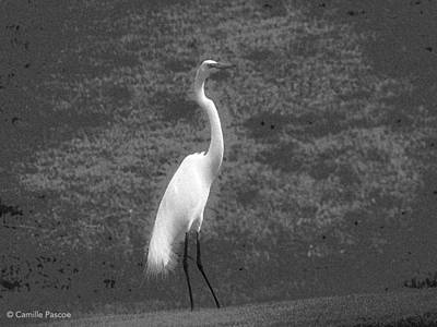 The Great Egret Poster