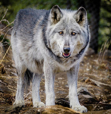 Poster featuring the photograph The Great Gray Wolf by Teri Virbickis