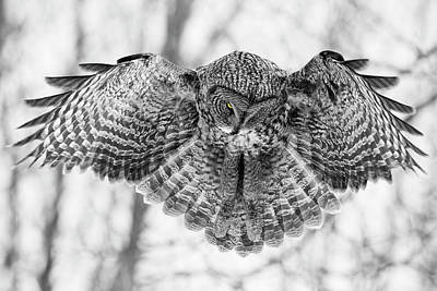 Poster featuring the photograph The Great Grey Owl In Black And White by Mircea Costina Photography