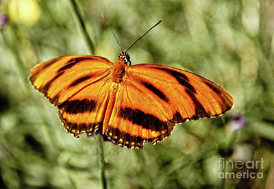The  Heliconian Butterfly Poster by Robert Bales
