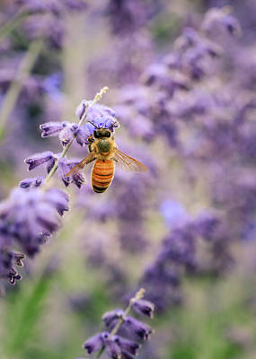 The Honey Bee And The Lavender Poster