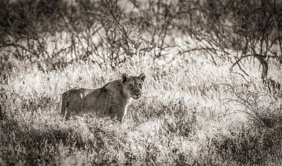 The Huntress - Black And White Lion Photograph Poster