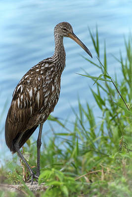 The Limpkin  Poster by Saija Lehtonen