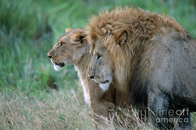 The Lion And His Lioness Poster by Sandra Bronstein