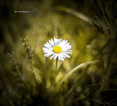 Poster featuring the photograph The Lonely Daisy by Stwayne Keubrick