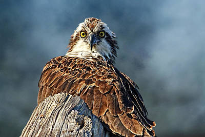 Birds - Osprey - The Look  Poster by HH Photography of Florida