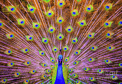 Poster featuring the photograph The Majestic Peacock by D Davila