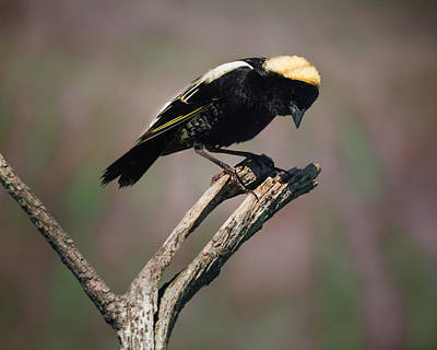 The Male Bobolink Poster by Bill Wakeley