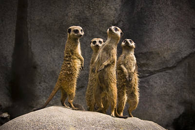 The Meerkat Four Poster by Chad Davis