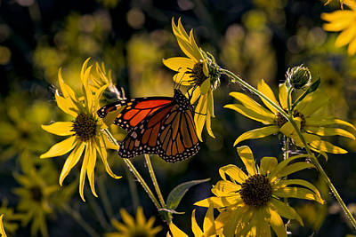 The Monarch And The Sunflower Poster by Rick Berk