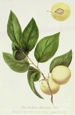 The New York Washington Plum, 1821 Poster by William Hooker