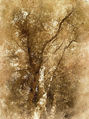 The Old Silver Birch Poster by The Rambler