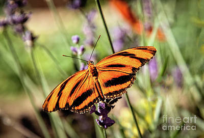 The Orange Heliconian Butterfly Poster by Robert Bales