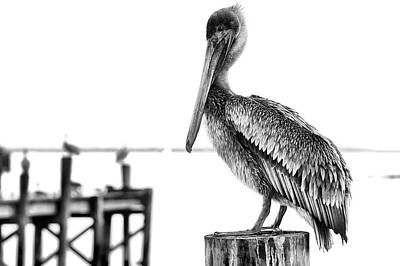 The Pelican In Black And White Poster