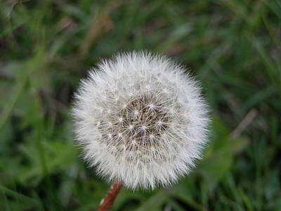 Poster featuring the photograph The Perfect Dandelion by DeeLon Merritt