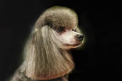 The Poodle Is A Breed Of Dog, One Of The Most Common Breeds In The Present. Poster