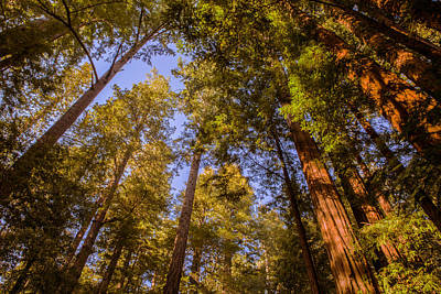 The Portola Redwood Forest Poster