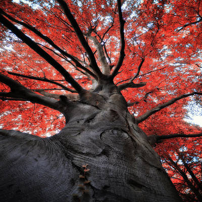 The Red Tree Poster by Philippe Sainte-Laudy Photography