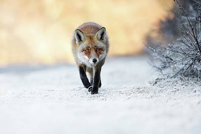 The Red, White And Blue - Red Fox In The Snow Poster by Roeselien Raimond
