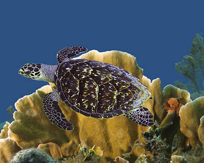 Poster featuring the photograph The Sea Turtle by Paula Porterfield-Izzo