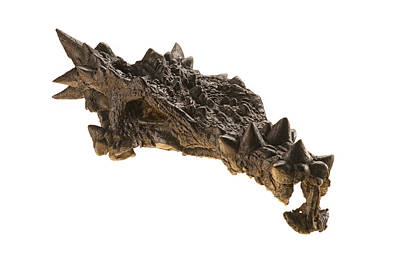 The Skull Of A Dracorex With Spikes Poster