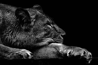 The Sleeping Lion Poster by Martin Newman